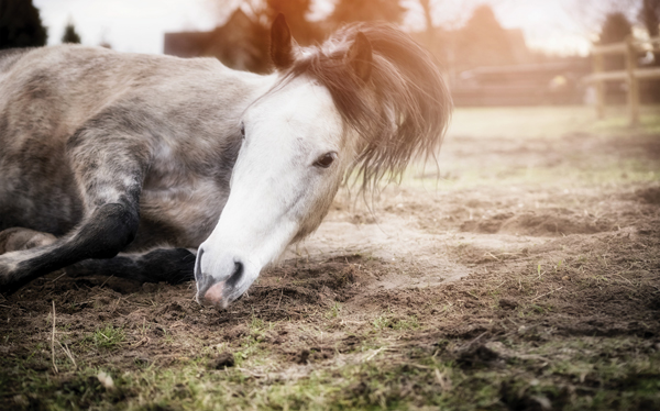Colicky Horse - What Is Colic
