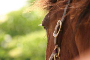 Equine Euthanasia Horse Face