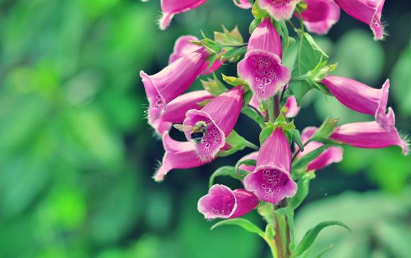Foxgloves Toxic Flowers