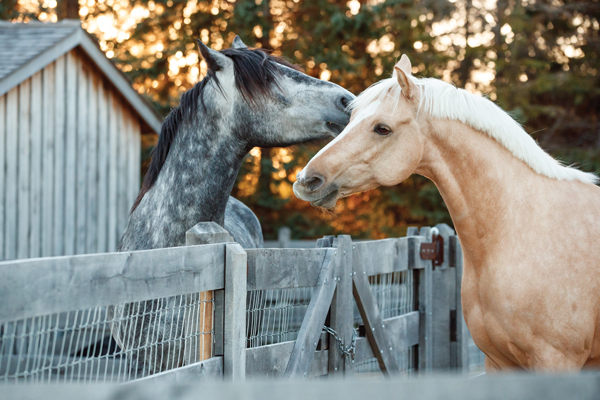 Risk Management for Pastured Horses Interacting Over a Fence