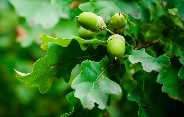 Oak Tree - Trees Toxic to Horses