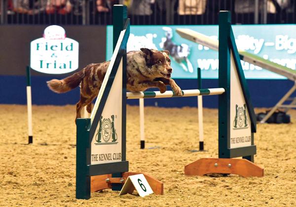 Dog agility at a horse show