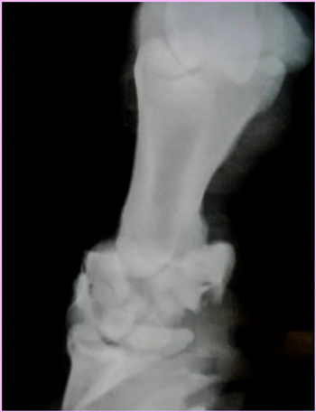 Radiograph of a Pastern Fracture - Horse Broken Leg