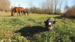 Pig as a companion animal to horses