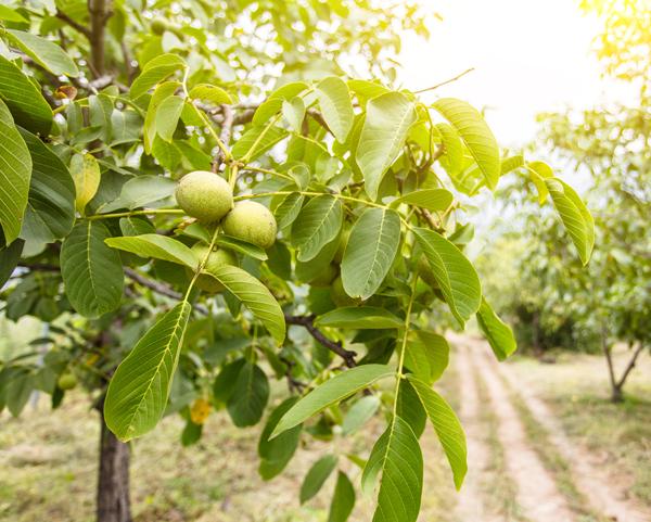 Walnut Tree - Trees Toxic to Horses